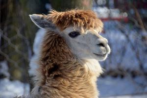 Alpaca close up Granby Zoo Quebec Canada by meunierd