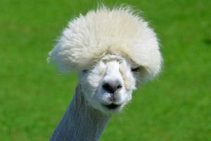 Alpaca by meunierd