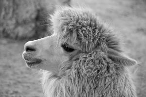 An Alpaca by meunierd