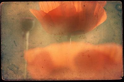 Study of Orange Poppies