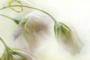 Study of Wilting White Flowers by Mia Friedrich