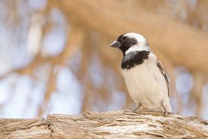 Cape Sparrow (Passer Melanurus) by Micha Klootwijk