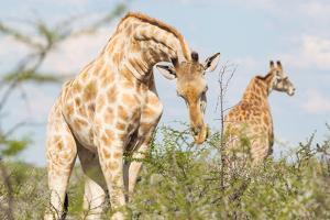 Giraffe in Etosha, Namibia by Micha Klootwijk