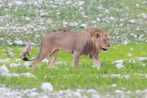 Lion Walking on the Rainy Plains of Etosha by Micha Klootwijk