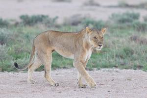 Lioness Walking on the Plains of Etosha by Micha Klootwijk