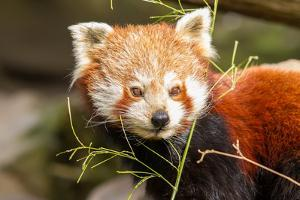 The Red Panda, Firefox or Lesser Panda by Micha Klootwijk