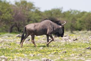 Wildebeest Walking the Plains of Etosha National Park by Micha Klootwijk