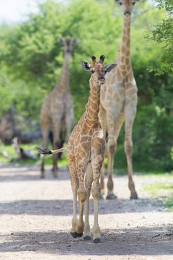 Young Giraffe in Etosha, Namibia by Micha Klootwijk