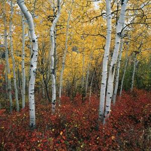 Aspen in autumn at Uinta National Forest by Micha Pawlitzki