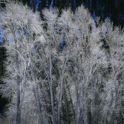 Cottonwood trees in winter
