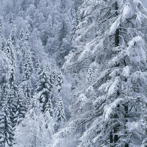 Snow Covered Trees in Forest by Micha Pawlitzki