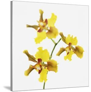 Yellow orchid by Micha Pawlitzki