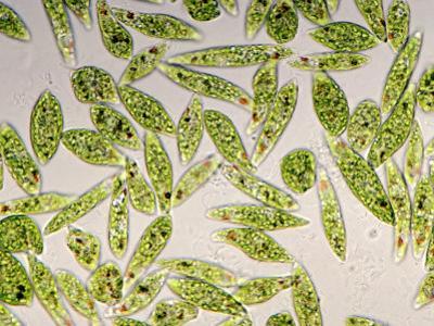 Living Protozoa Euglena Gracilis Showing Flagella, Stigma, and Chloroplast by Michael Abbey