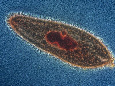 Paramecium Caudatum Ciliate Protozoa with a Stained Nucleus, LM X150 by Michael Abbey