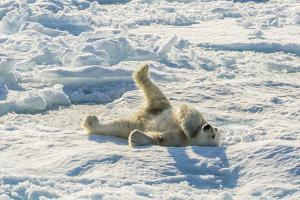 Adult Polar Bear (Ursus Maritimus) Cleaning Fur on Ice Floe by Michael