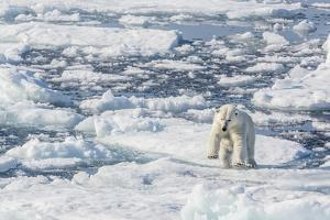 Adult Polar Bear (Ursus Maritimus) Leaping from Ice Floe by Michael