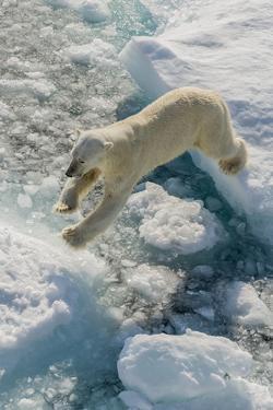 Adult Polar Bear (Ursus Maritimus) on Ice Floe by Michael