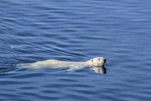 Adult Polar Bear (Ursus Maritimus) Swimming in Open Water by Michael