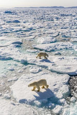 Adult Polar Bears (Ursus Maritimus)