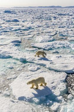 Adult Polar Bears (Ursus Maritimus) by Michael