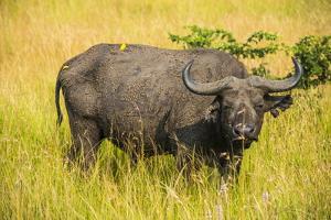 African Buffalo (Cape Buffalo) (Syncerus Caffer) by Michael