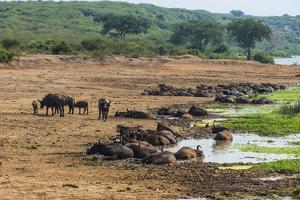 African Buffalos (Cape Buffalo) (Syncerus Caffer) by Michael