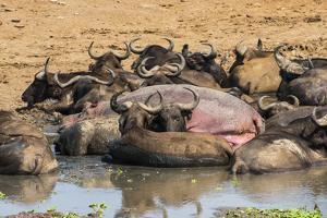 African Buffalos (Cape Buffalos) (Syncerus Caffer) by Michael