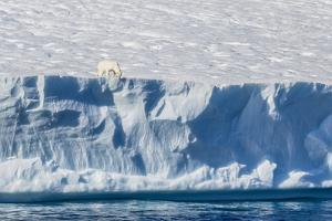 An Adult Polar Bear (Ursus Maritimus) on the Edge of a Huge Iceberg in Arctic Harbour by Michael