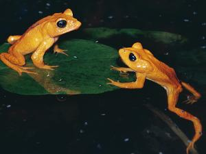 Monteverde or Golden Toad (Bufo Periglenes), Extinct, Monteverde Cloud Forest Reserve, Costa Rica by Michael and Patricia Fogden/Minden Pictures