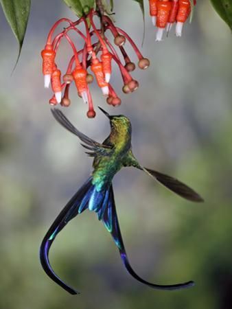 Violet-Tailed Sylph (Aglaiocercus Coelestis) Hummingbird, Heath (Ericaceae), Andes, Ecuador by Michael and Patricia Fogden/Minden Pictures