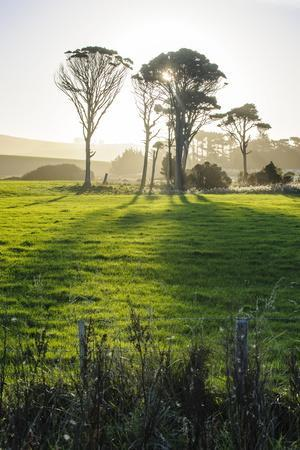 Backlit Trees in Green Fields, the Catlins, South Island, New Zealand, Pacific