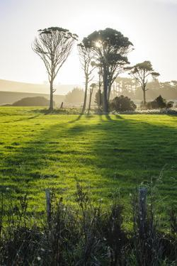 Backlit Trees in Green Fields, the Catlins, South Island, New Zealand, Pacific by Michael