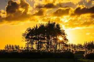 Beautiful Sunset Behind a Bunch of Trees, Northland, North Island, New Zealand, Pacific by Michael
