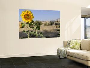 Sunflower Growing at Micro-Oasis of Qasr Al Labakha, Near Al Kharga by Michael Benanav