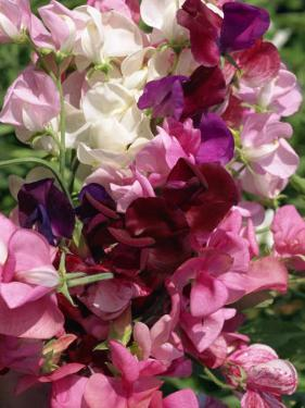 Bunch of Sweet Pea Flowers, Lathyrus Odoratus Old Fashioned Mixed Taken in August by Michael Black