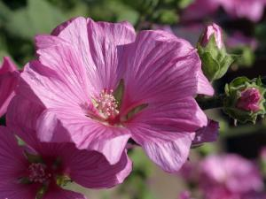 Close-Up of Flowers of the Tree Mallow, Lavatera Olbia Rosea, in July, in Devon, England by Michael Black