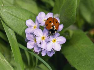 Seven Spot Ladybird on Forget-Me-Nots by Michael Black