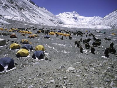 A Heard of Yaks and Tents, Nepal
