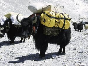 A Sponsered Yak, Nepal by Michael Brown