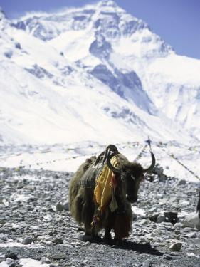 Lone Yak by Michael Brown