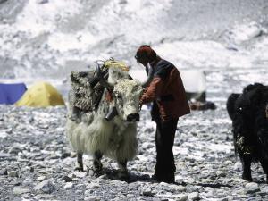 Yak and Sherpa, Nepal by Michael Brown