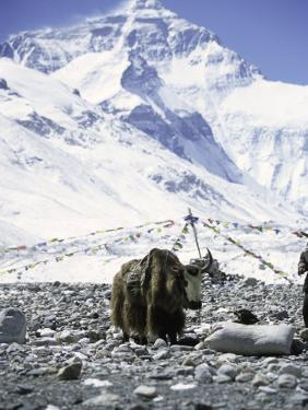 Yak in Front of Mount Everest by Michael Brown