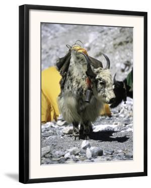 Yak in Tibet by Michael Brown