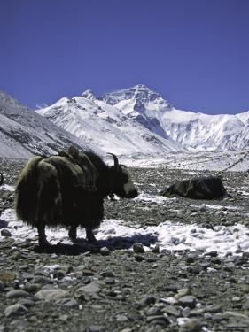 Yaks at Everest Base Camp, Tibet by Michael Brown