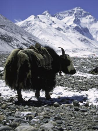 Yaks at Everest Base Camp, Tibet