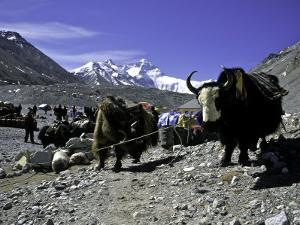 Yaks at the Base Camp of the Everest North Side, Tibet by Michael Brown