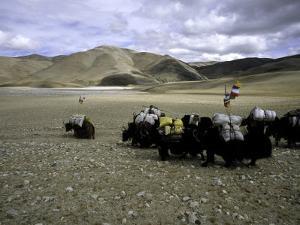 Yaks, Tibet by Michael Brown