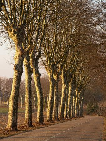 Bare Trees Line a Rural Road in Winter, Provence, France, Europe