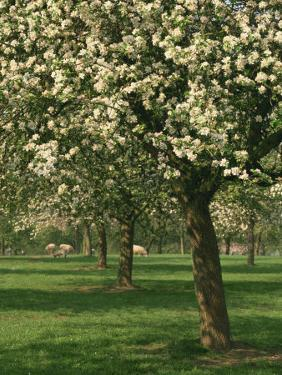 Cider Apple Trees in Blossom in Spring in an Orchard in Herefordshire, England, United Kingdom by Michael Busselle