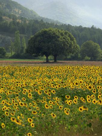 Landscape of Field of Sunflowers Near Ferrassieres in the Drome, Rhone-Alpes, France, Europe by Michael Busselle